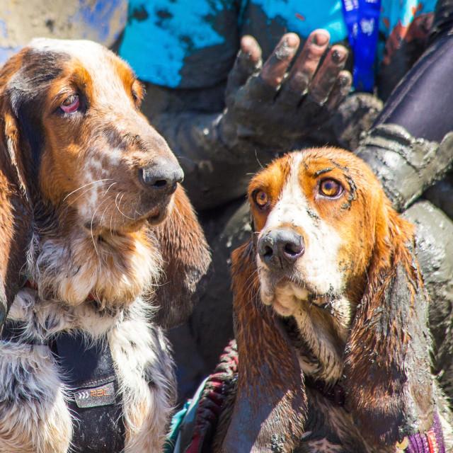 """Basset hounds at muddy dog challenge"" stock image"