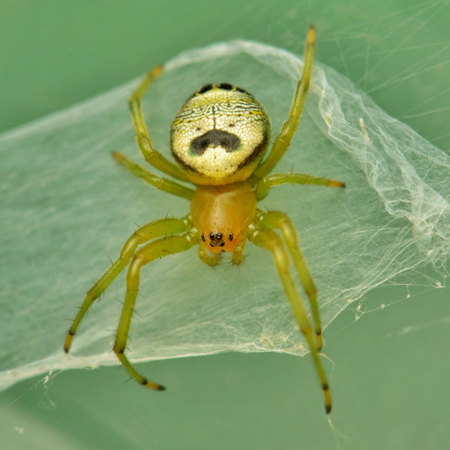 """Funny looking face of kidney garden spider"" stock image"