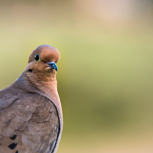 """Mourning Dove Close Up"" stock image"