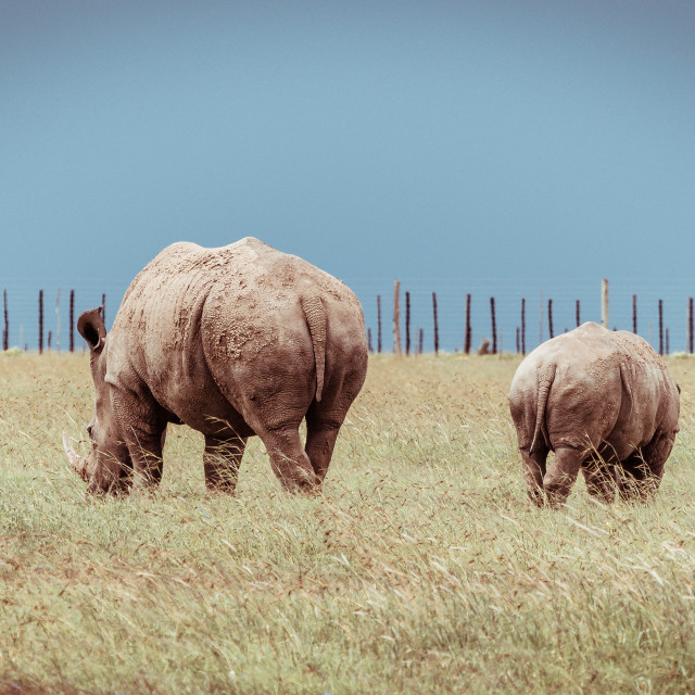 """A Rhino and its Calf"" stock image"