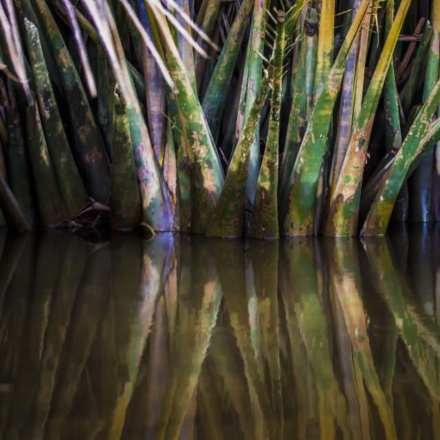 """Nypa Palms"" stock image"