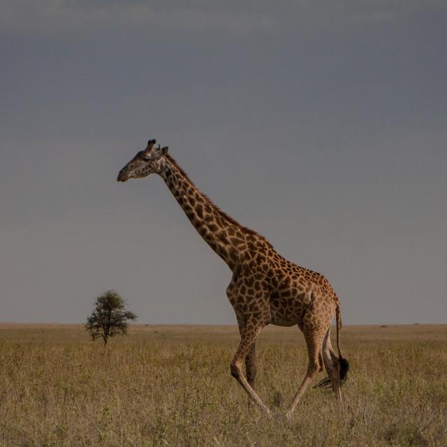 """""""Giraffe in Profile"""" stock image"""