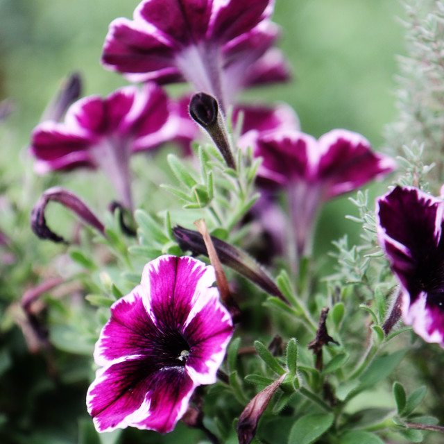 """Petunias of extraordinary purple color"" stock image"