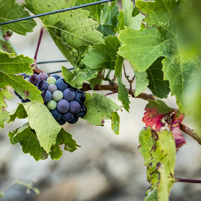 """""""Wine production in Spain"""" stock image"""