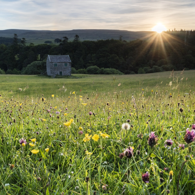 """Sunrise Over a North Pennine Wildflower Hay Meadow in Teesdale"" stock image"
