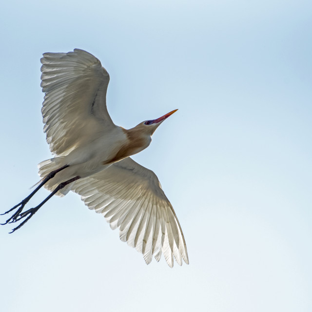 """Cattle Egret In Flight (IV)"" stock image"