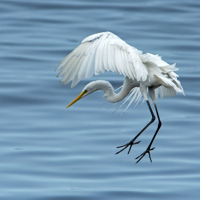 """Great Egret Descent"" stock image"