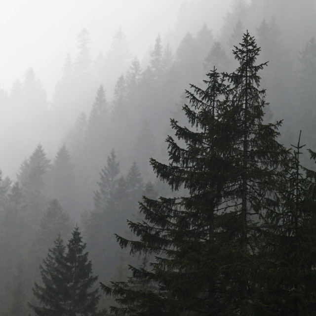 """""""Misty pine forest background"""" stock image"""