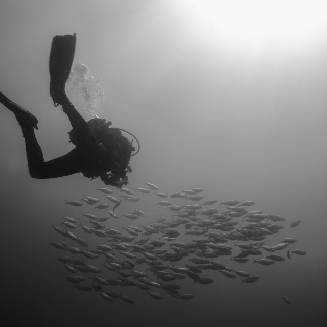 """backlighting of diver with a group of fish"" stock image"