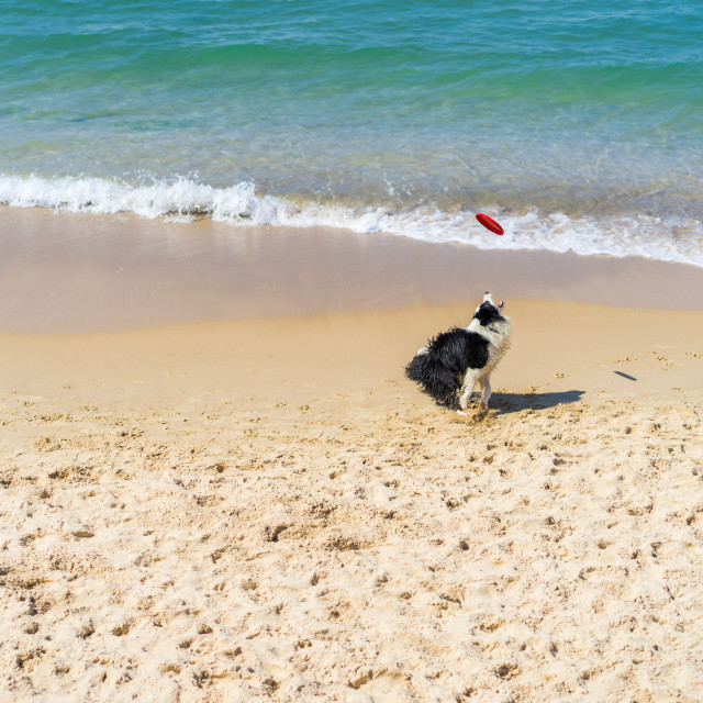 """Dog playing on a beach catching a red frisbee"" stock image"