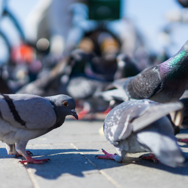 """Close up of birds and pigeons"" stock image"
