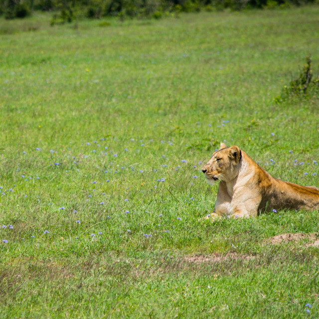 """""""Lioness in the Field"""" stock image"""