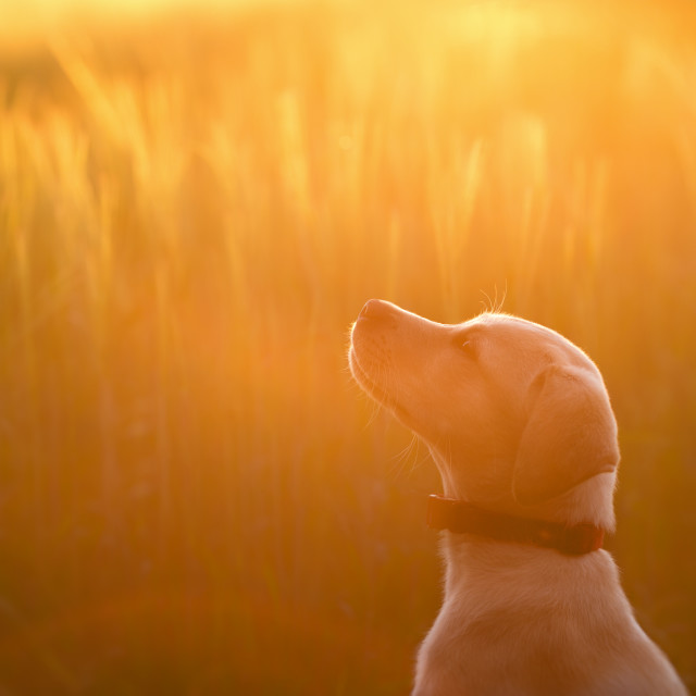 """A Patient Labrador Puppy at Sunset"" stock image"