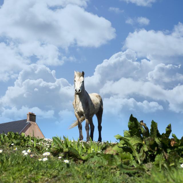 """irish horse in a field"" stock image"