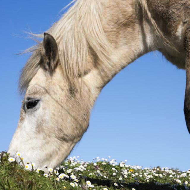 """""""irish pony eating"""" stock image"""