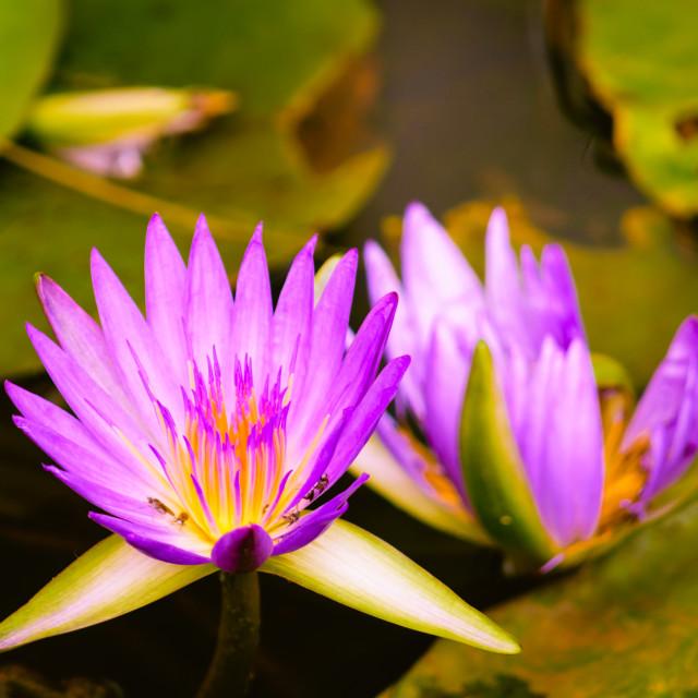 """Purple Lilies"" stock image"