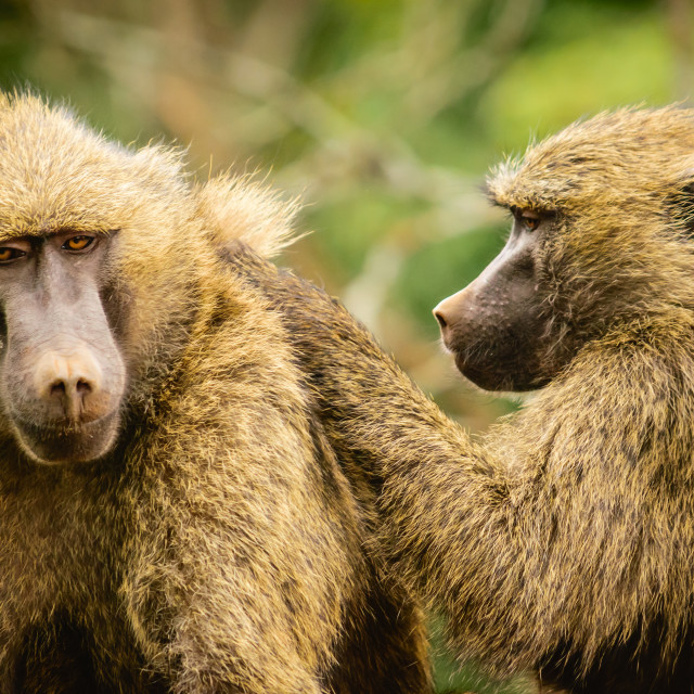"""""""Baboons Hanging Out"""" stock image"""