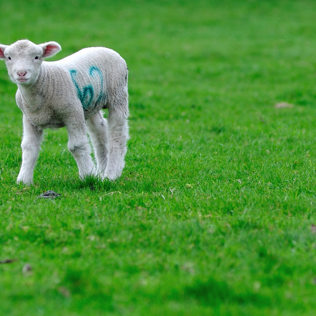 """English Spring Lamb face"" stock image"