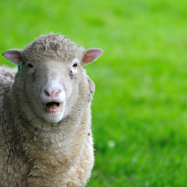 """English Sheep Ewe calling"" stock image"