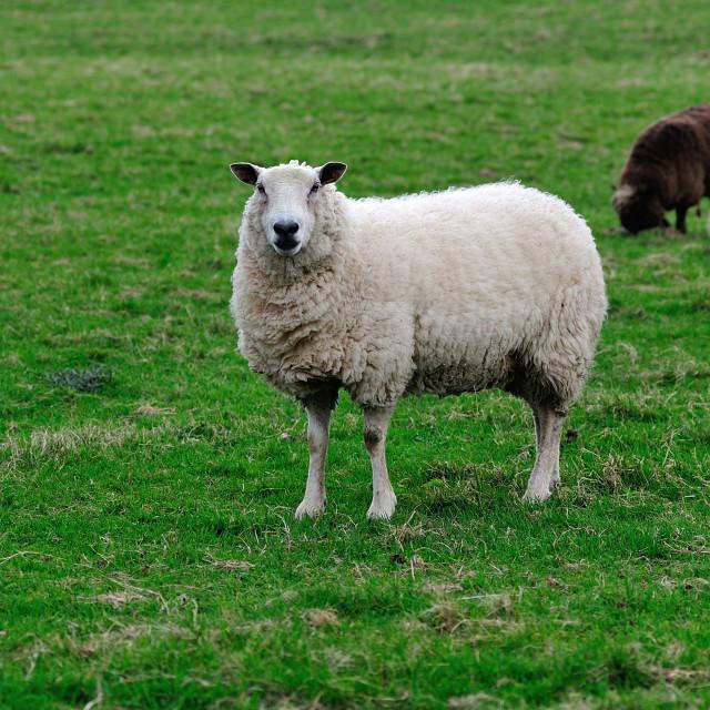 """English sheep white and brown"" stock image"