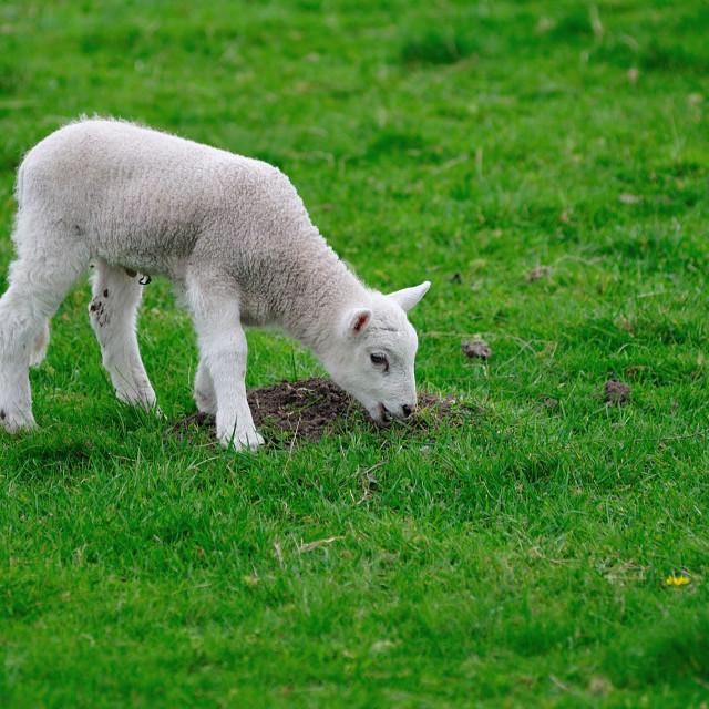 """English Spring Lamb grazing"" stock image"