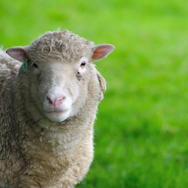 """""""English Sheep Ewe face"""" stock image"""
