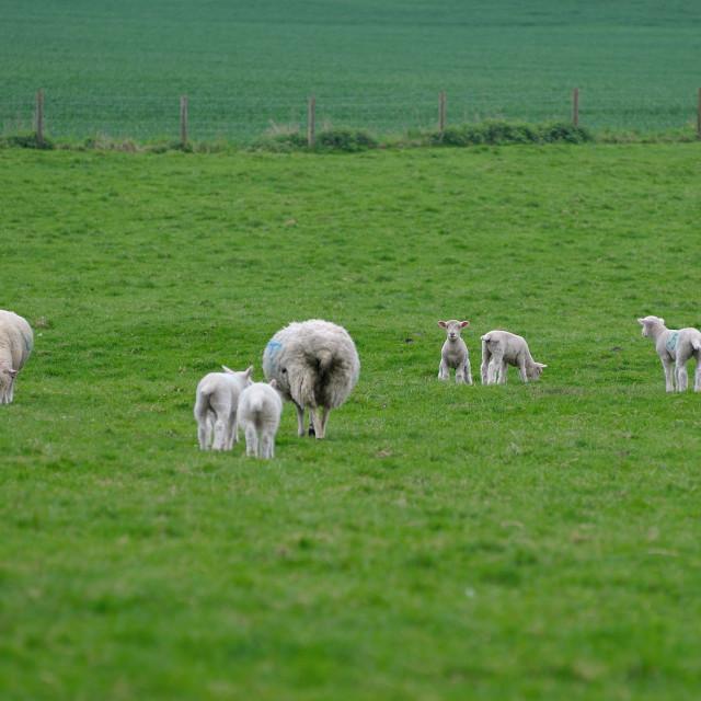 """English farmland with Sheep and Lambs"" stock image"