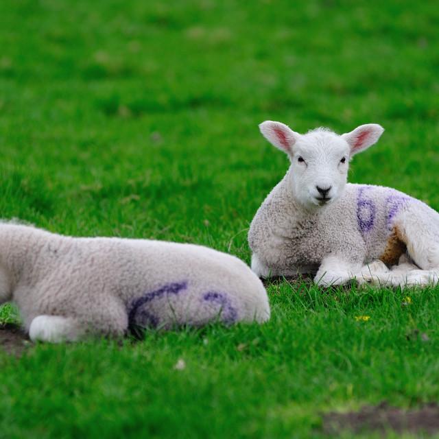 """English Spring Lambs lazing"" stock image"