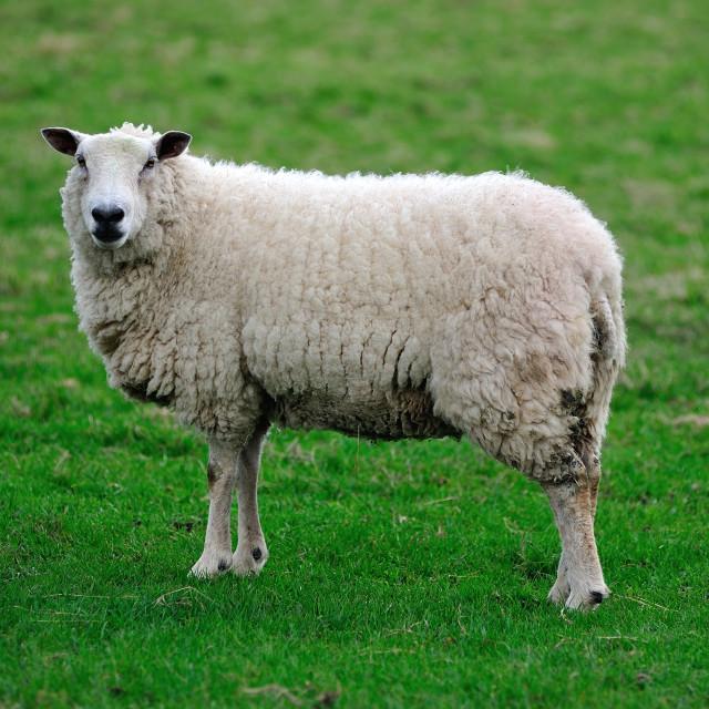 """English sheep full body"" stock image"