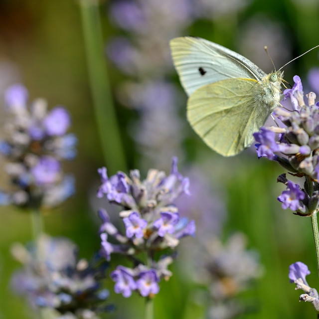 """Large white english butterfly pieris brassicae"" stock image"
