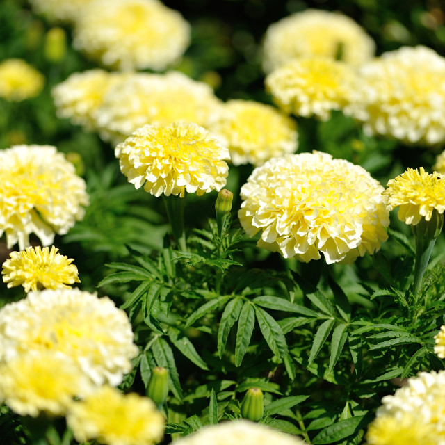 """Yellow Carnation cluster in garden"" stock image"