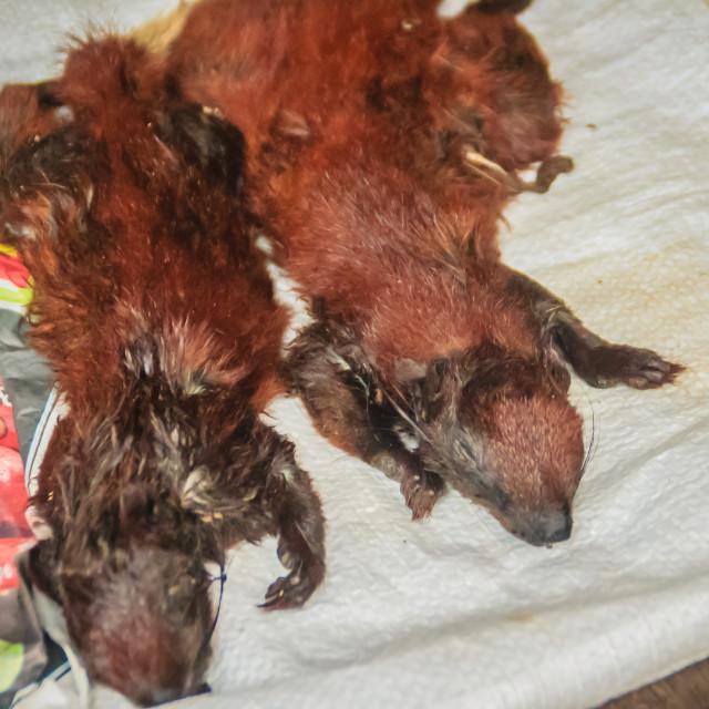 """Sunda flying lemur for sale in the wild market at Thai-Cambodia border..."" stock image"