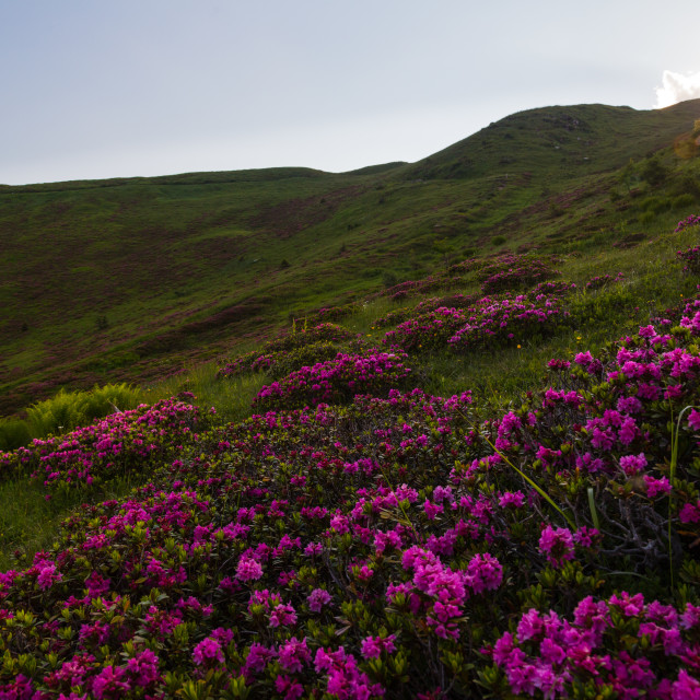 """""""Sunset over rhododendrons"""" stock image"""