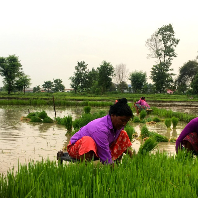 """Preparing a rice paddy in nepal"" stock image"