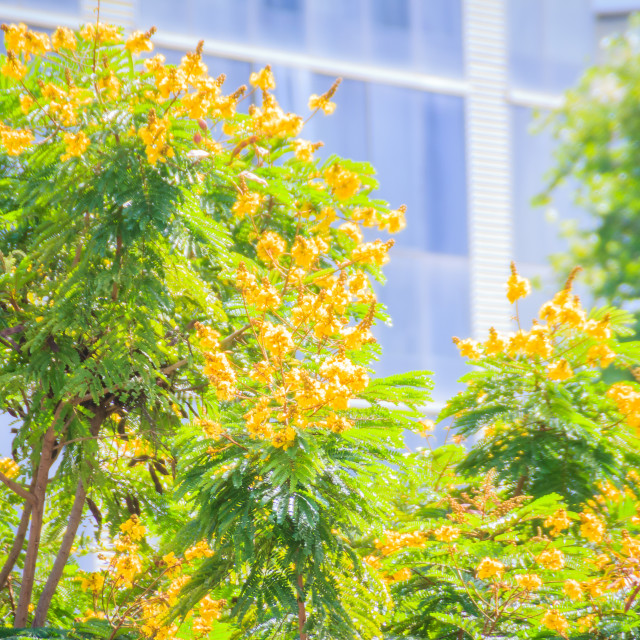 """Beautiful yellow Peltophorum pterocarpum flowers on tree, commonly known as..."" stock image"
