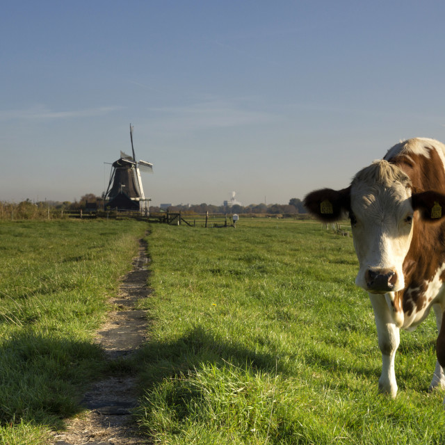 """Cow in a meadow near Westzaan"" stock image"