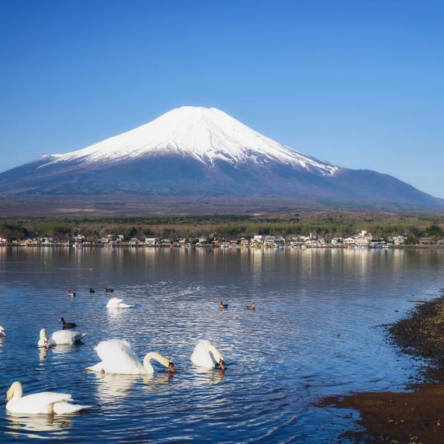 """""""White Swan at Yamanaka lake and mt. Fujisan"""" stock image"""