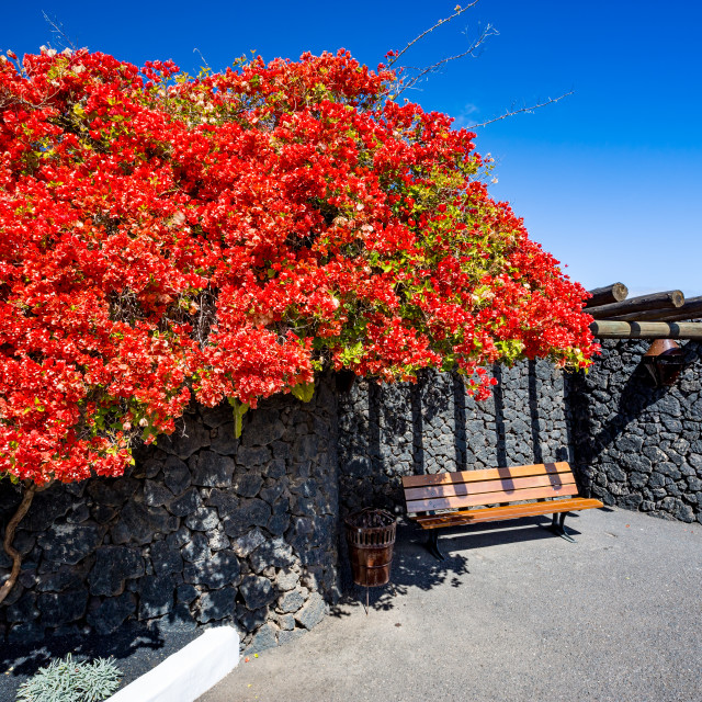 """""""Peaceful bench under red blossoms bush, Lanzarote"""" stock image"""