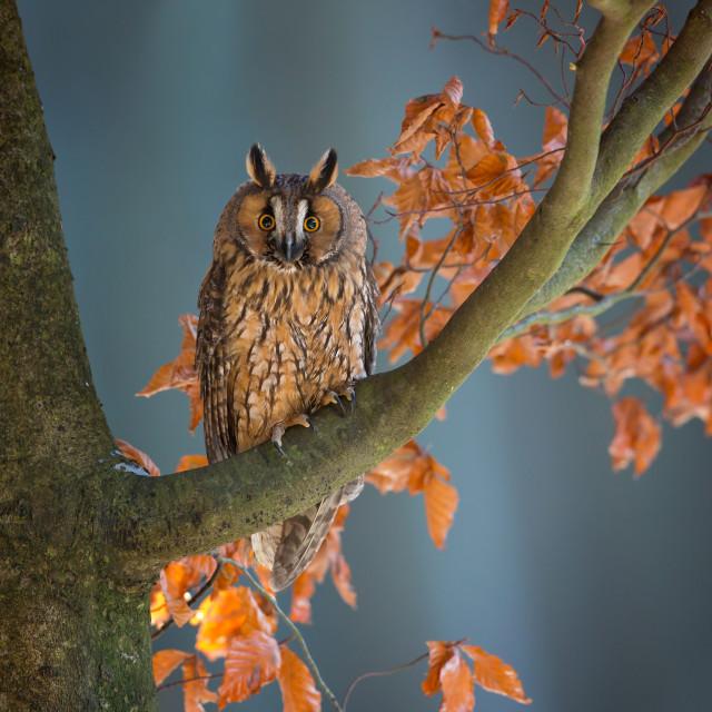 """""""Long-eared Owl"""" stock image"""