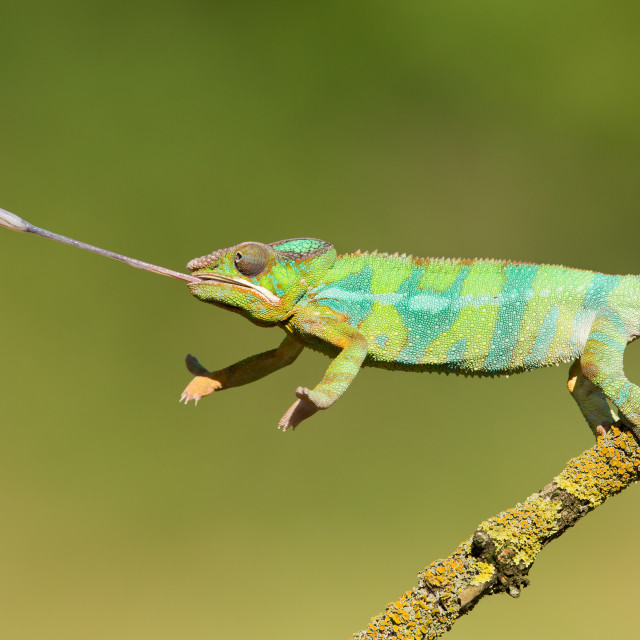 """Panther Chameleon"" stock image"