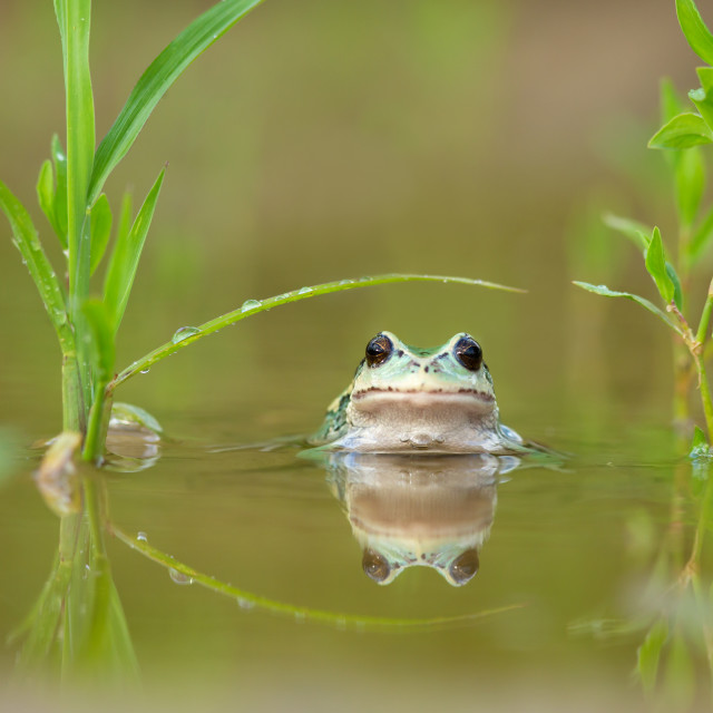 """""""Andean Marsupial Tree Frog"""" stock image"""