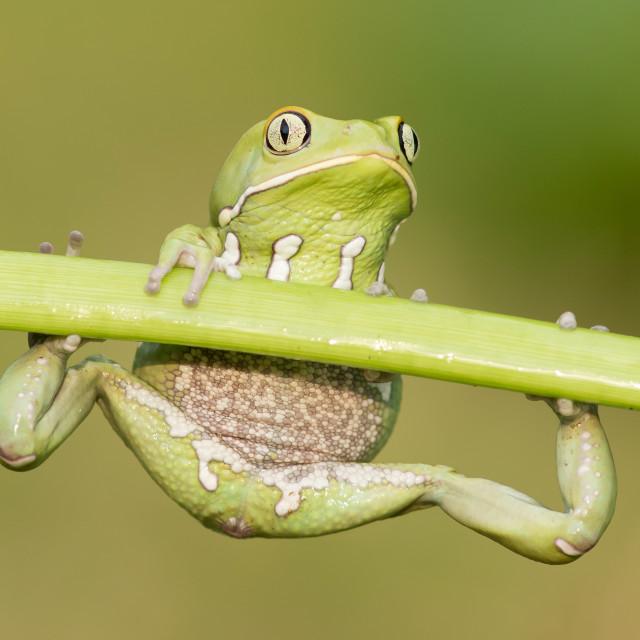 """""""Waxy Monkey Frog"""" stock image"""
