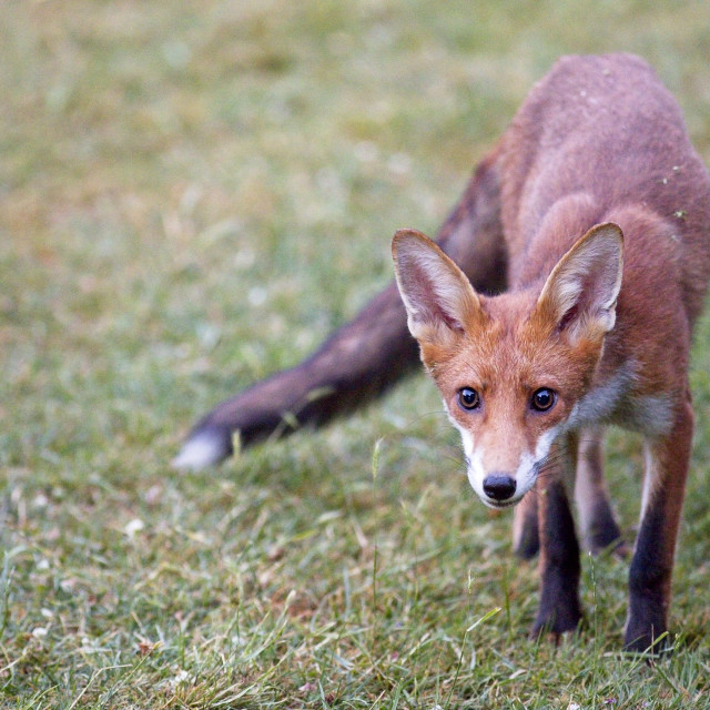 """""""Young Red fox (Vulpes vulpes) cub"""" stock image"""