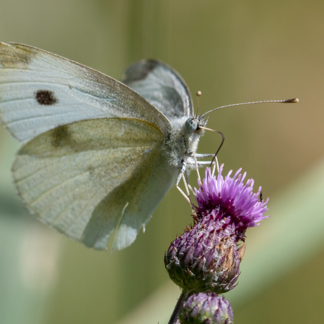 """Cabbage butterfly"" stock image"