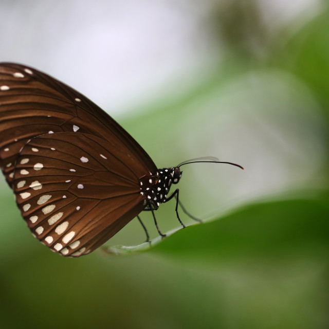 """Brown Butterfly Sitting on a leaf"" stock image"
