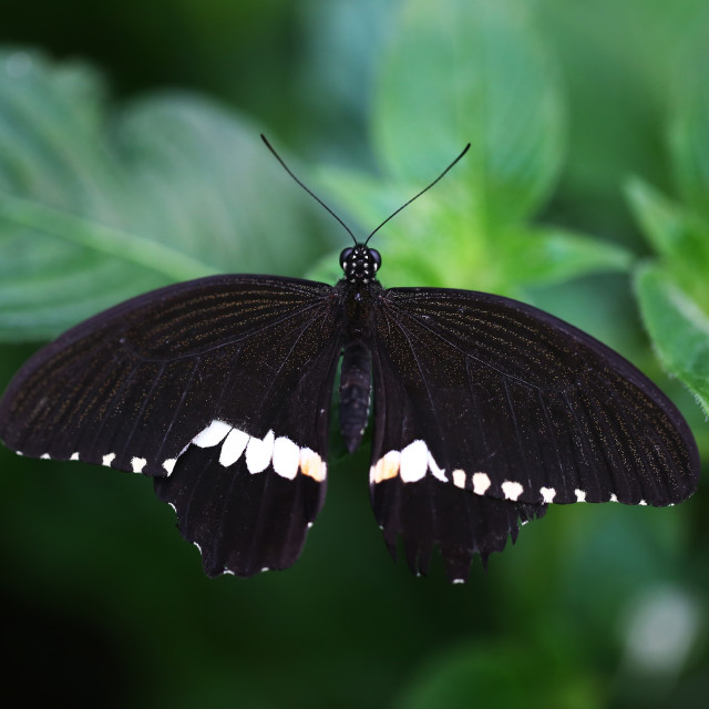 """Common Mormon Black Butterfly"" stock image"