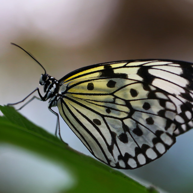 """Tree Nymph Butterfly Isolated"" stock image"