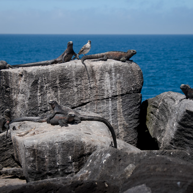 """""""Sunbathing hawk and iguanas"""" stock image"""