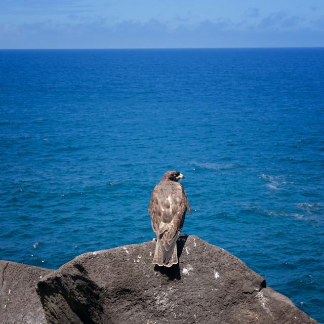 """Galapagos Hawk 2"" stock image"
