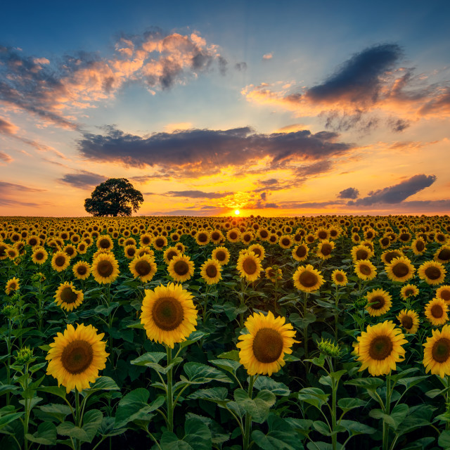 """""""Field of blooming sunflowers and tree on a background sunset"""" stock image"""